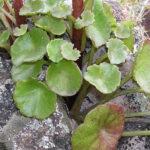 Navelwort - Umbilicus rupestris