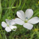 Pale Flax - Linum bienne