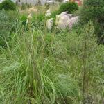 Pampas grass - Cortaderia sp
