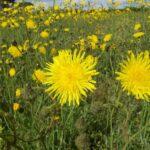 Perennial Sowthistle - Sonchus arvensis
