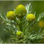 Pineappleweed - Matricaria discoidea