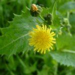 Prickly Sowthistle - Sonchus asper