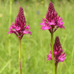 Pyramidal Orchid - Anacamptis pyramidalis