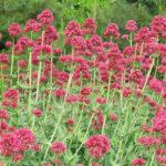 Red Valerian - Centhranthus ruber