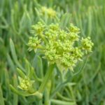 Rock Samphire - Crithmum martitimum
