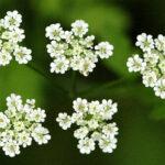 Rough Chervil - Chaerophyllum temulentum