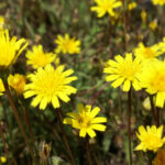 Rough Hawkbit - Leontodon hispidus