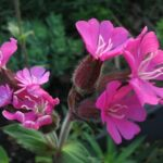 Rue-leaved saxifrage - Silene dioica
