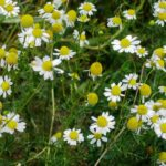 Scented Mayweed - Matricaria recutita