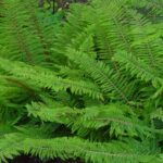 Soft shield-fern - Polystichum setiferum