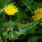 Sowthistle species - Sonchus