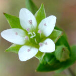 Thyme-leaved Sandwort - Arenaria serpyllifolia