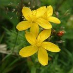 Toadflax Leaved St Johns Wort - Hypericum linariifolium