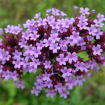 Vervain - Verbena officinalis
