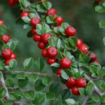 Wall Cotoneaster - Cotoneaster horizontalis