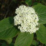 Wayfaring - Tree viburnu