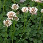 White Clover - Trifolium dubium
