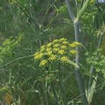 Wild Fennel - Foeniculum vulgare