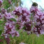 Wild Marjoram - Origanum vulgare