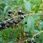 Wild Privet - Ligustrum vulgare