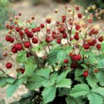 Wild Strawberry - Fragaria vesca