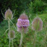 Wild Teasel - Dipsacus fullonum